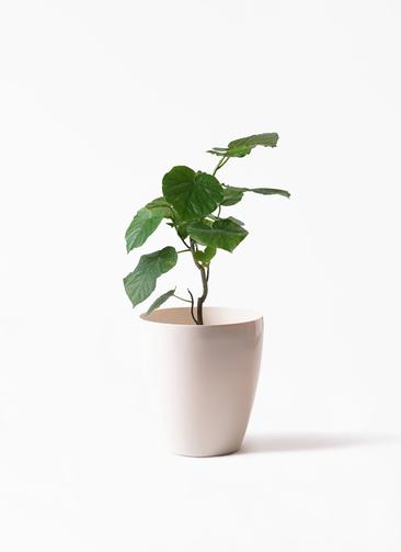 観葉植物 フィカス ウンベラータ 6号 ノーマル ラスターポット 付き