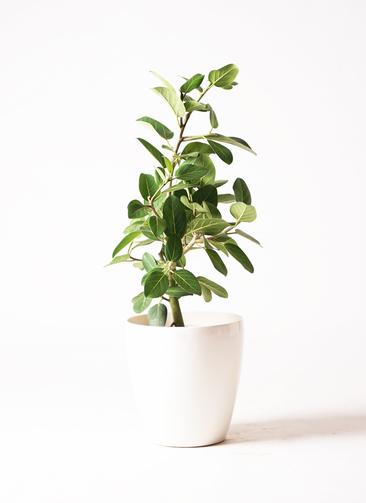 観葉植物 フィカス ベンガレンシス 7号 ストレート ラスターポット 付き