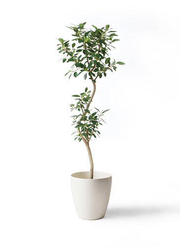 観葉植物 フランスゴムの木 8号 曲り ラスターポット 付き