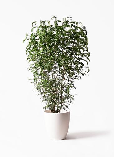 観葉植物 シマトネリコ 10号 ラスターポット 付き