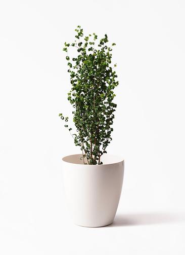 観葉植物 フィカス ベンジャミン 7号 バロック ラスターポット 付き