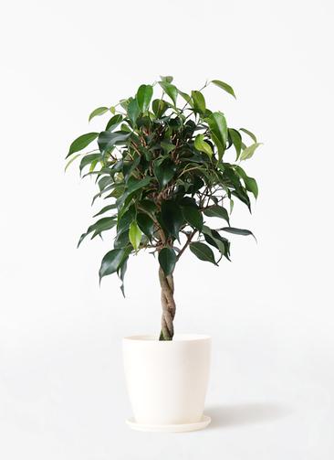 観葉植物 フィカス ベンジャミン 4号 玉造り ラスターポット 付き