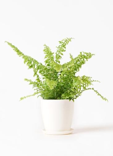 観葉植物 ネフロピレス 3.5号 ラスターポット 付き