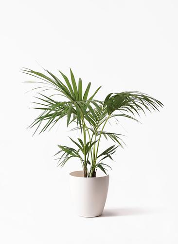観葉植物 ケンチャヤシ 8号 ラスターポット 付き