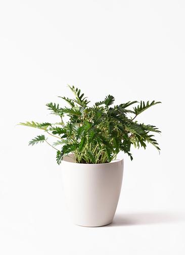 観葉植物 クッカバラ 7号 ラスターポット 付き