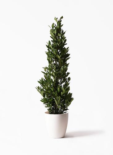観葉植物 月桂樹 10号 ラスターポット 付き