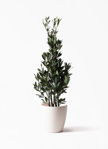 観葉植物 月桂樹 8号 ラスターポット 付き