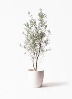 オリーブの木 チプレッシーノ