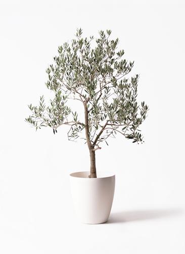 観葉植物 オリーブの木 10号 ピッチョリーネ ラスターポット 付き