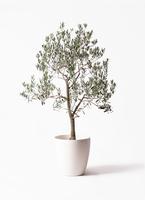 オリーブの木 ピッチョリーネ