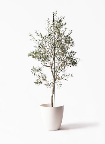 観葉植物 オリーブの木 10号 バルネア ラスターポット 付き