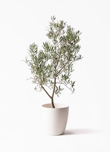 観葉植物 オリーブの木 8号 デルモロッコ ラスターポット 付き