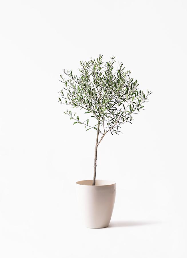 観葉植物 オリーブの木 6号 創樹 ラスターポット 付き