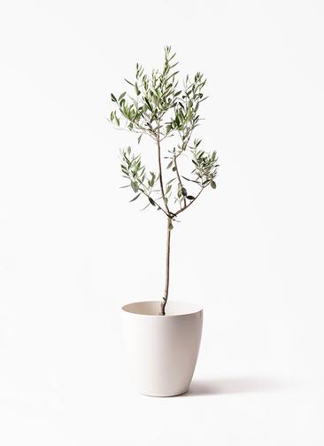 観葉植物 オリーブの木 8号 カラマタ ラスターポット 付き