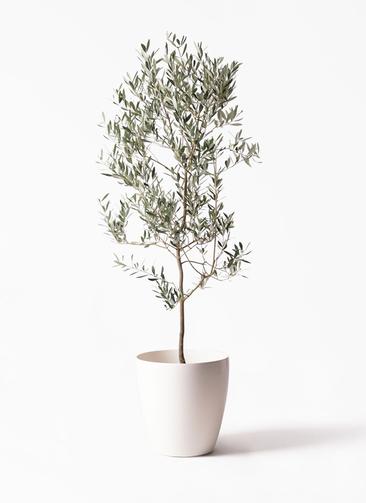 観葉植物 オリーブの木 10号 ミッション ラスターポット 付き