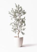 オリーブの木 ペンドリノ