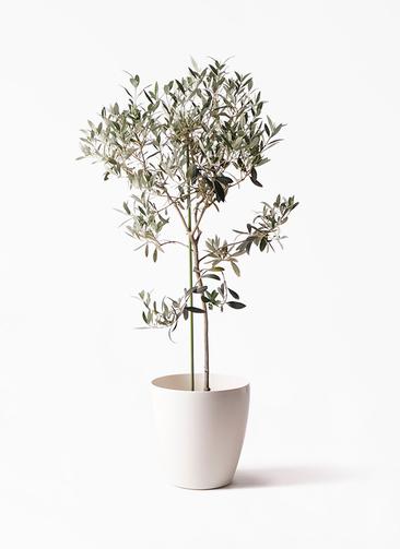 観葉植物 オリーブの木 8号 ワンセブンセブン ラスターポット 付き