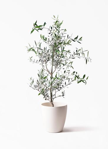 観葉植物 オリーブの木 8号 コレッジョラ ラスターポット 付き