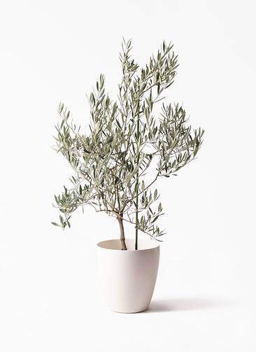観葉植物 オリーブの木 8号 オヒブランカ ラスターポット 付き