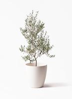 観葉植物 オリーブの木 8号 アルベキーナ ラスターポット 付き