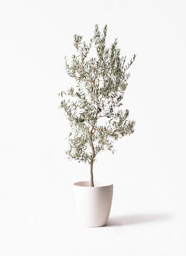 観葉植物 オリーブの木 10号 バロウニ ラスターポット 付き