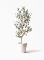 オリーブの木 バロウニ