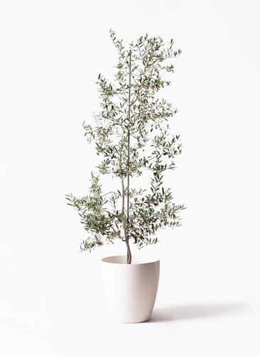観葉植物 オリーブの木 10号 アルベキーナ ラスターポット 付き