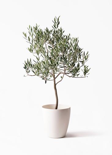観葉植物 オリーブの木 8号 ハーディーズマンモス ラスターポット 付き