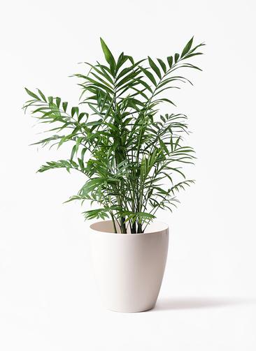 観葉植物 テーブルヤシ 7号 ラスターポット 付き