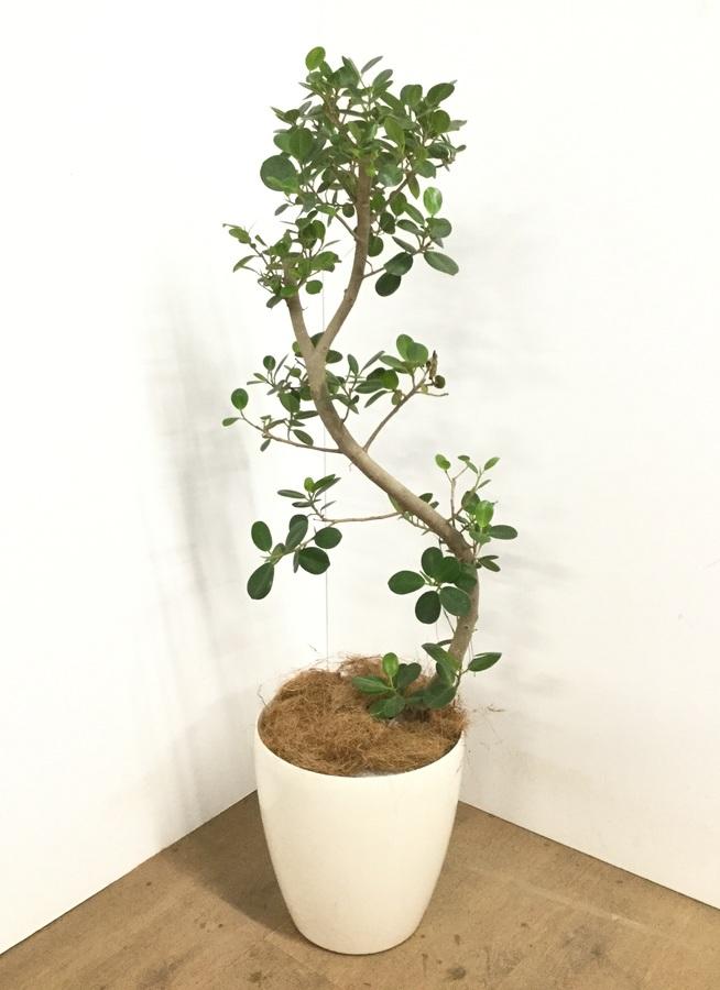 観葉植物 【115cm】【鉢カバー付】パンダガジュマル 8号 曲り #22599