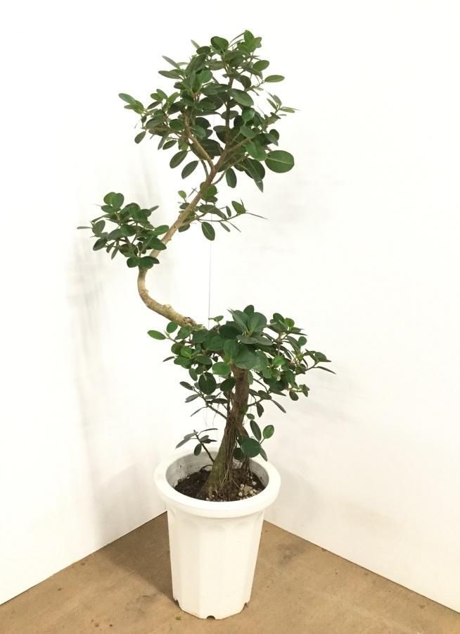 観葉植物 【110cm】パンダガジュマル 8号 曲り #22601
