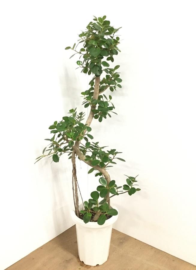 観葉植物 【125cm】パンダガジュマル 8号 曲り #22602