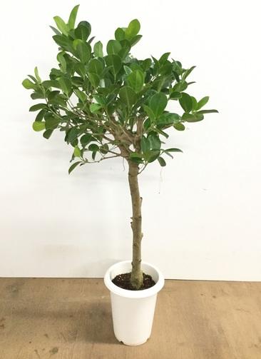 観葉植物 【95cm】パンダガジュマル 6号  #22603