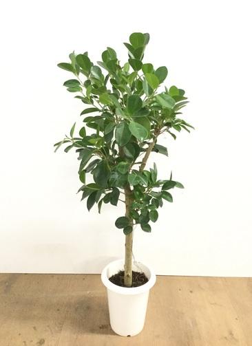 観葉植物 【95cm】パンダガジュマル 6号 #22604