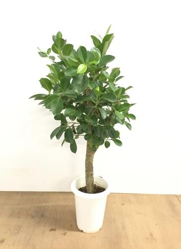 観葉植物 【80cm】パンダガジュマル 6号 #22605