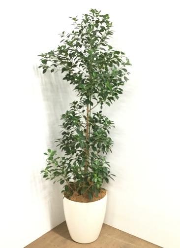 観葉植物 【175cm】【鉢カバー付】フィカス ナナ 10号 ボサ造り #22606