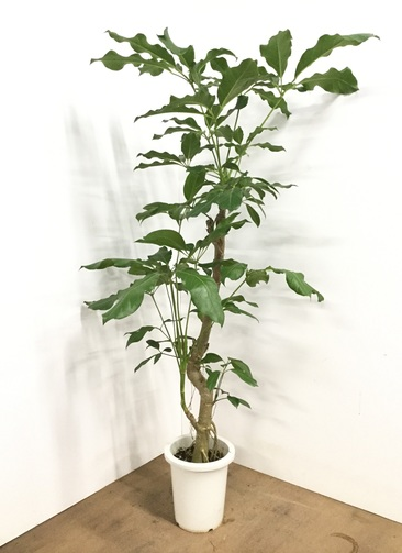 観葉植物 【160cm】ブラッサイア 8号 #22607