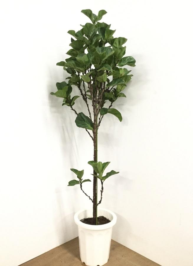 観葉植物 【175cm】カシワバゴム 10号 #22608