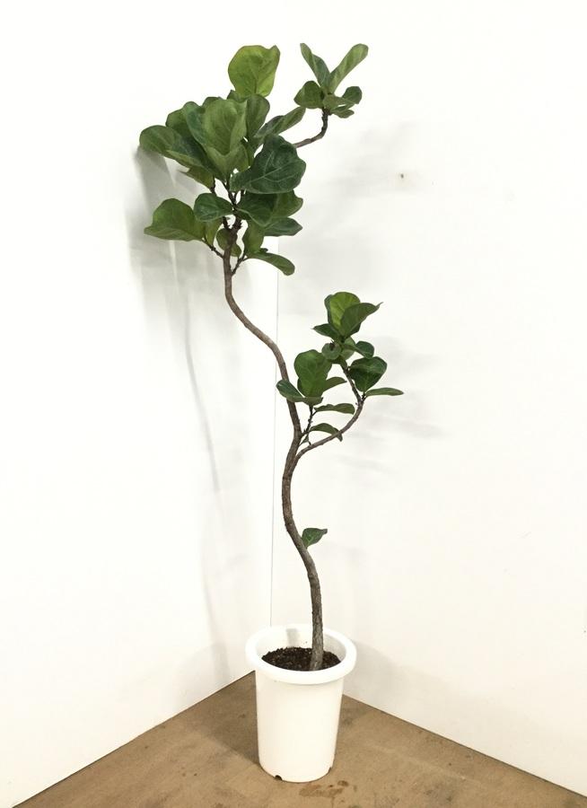 観葉植物 【150cm】カシワバゴム 8号 曲り #22609