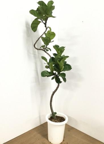 観葉植物 【145cm】カシワバゴム 8号 曲り #22610