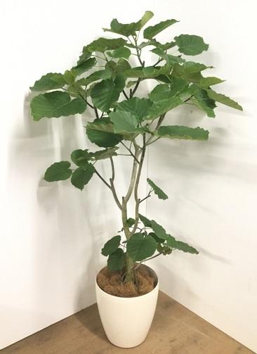 観葉植物 【180cm】フィカス ウンベラータ 10号 #22731 A
