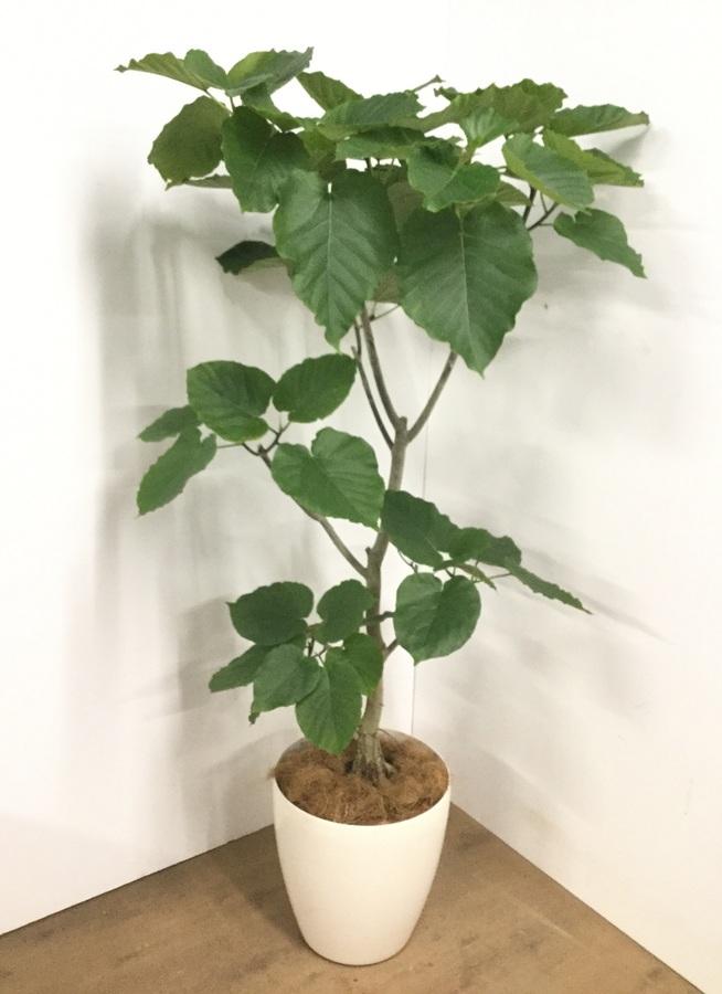 観葉植物 10号 ノーマル 【170cm】フィカス ウンベラータ 10号 #22733 C