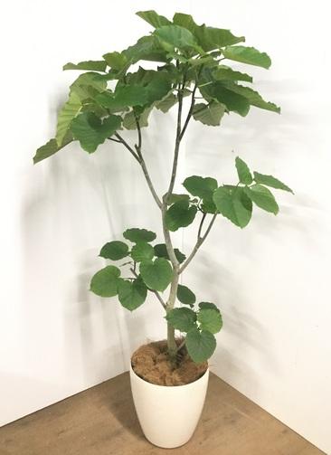 観葉植物 【180cm】フィカス ウンベラータ 10号 #22735 E