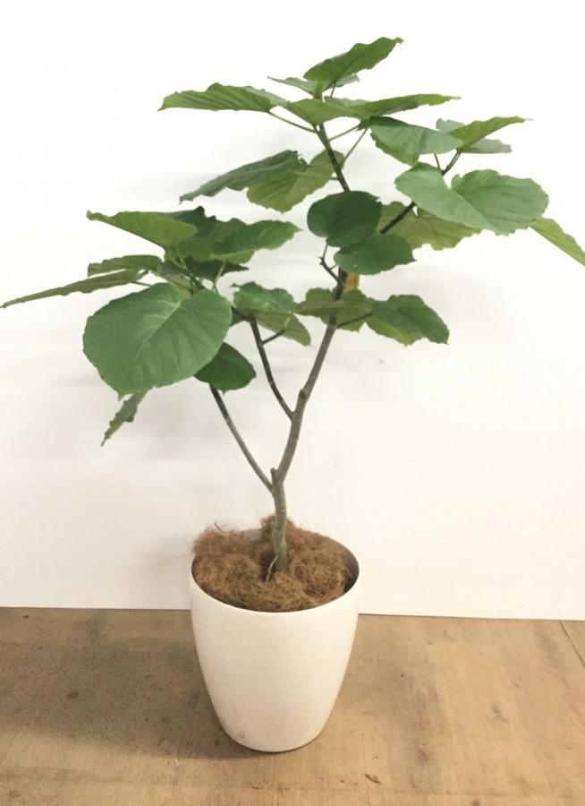 観葉植物 8号 ノーマル 【110cm】フィカス ウンベラータ 8号 #22736 a