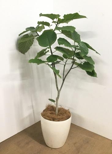 観葉植物 【125cm】フィカス ウンベラータ 8号 #22737 b