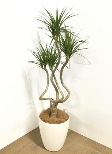 観葉植物 【115cm】ドラセナ コンシンネ 7号 #22855