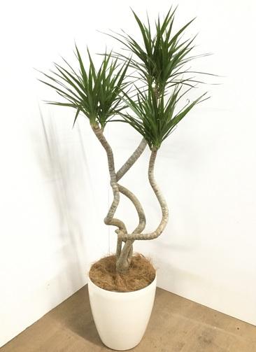 観葉植物 【120cm】ドラセナ コンシンネ 7号 #22856