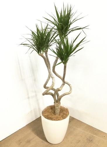 観葉植物 【120cm】ドラセナ コンシンネ 7号 #22857