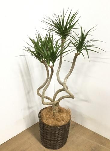 観葉植物 【110cm】ドラセナ コンシンネ 7号 #22858