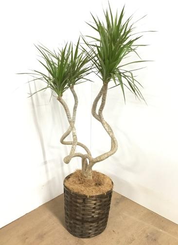 観葉植物 【115cm】ドラセナ コンシンネ 7号 #22859